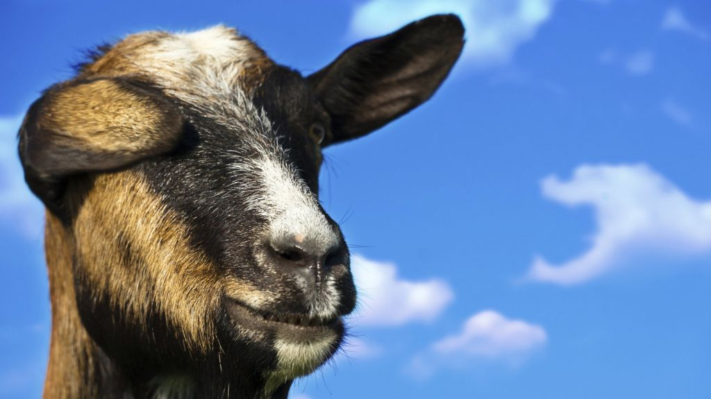 The internet's great goat obsession - BBC News
