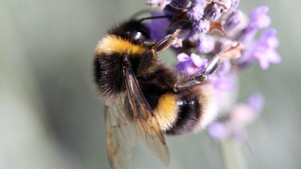 Pesticide ban call to save bees - BBC News