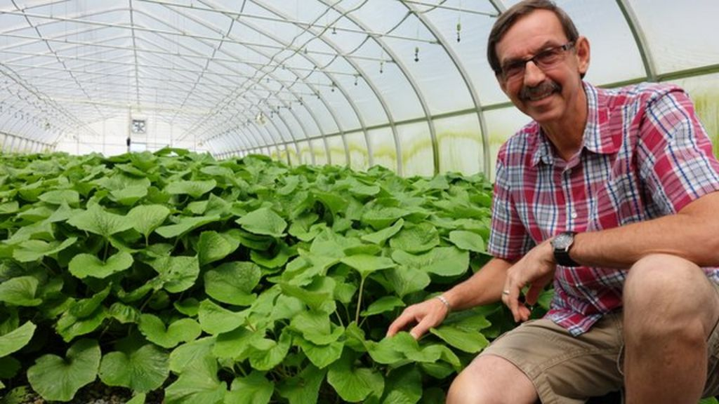 Wasabi Why Invest In The Hardest Plant To Grow Bbc News