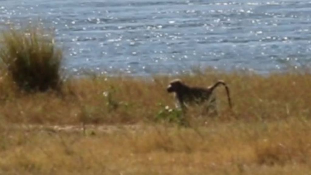 The marooned baboon: Africa's loneliest monkey - BBC News