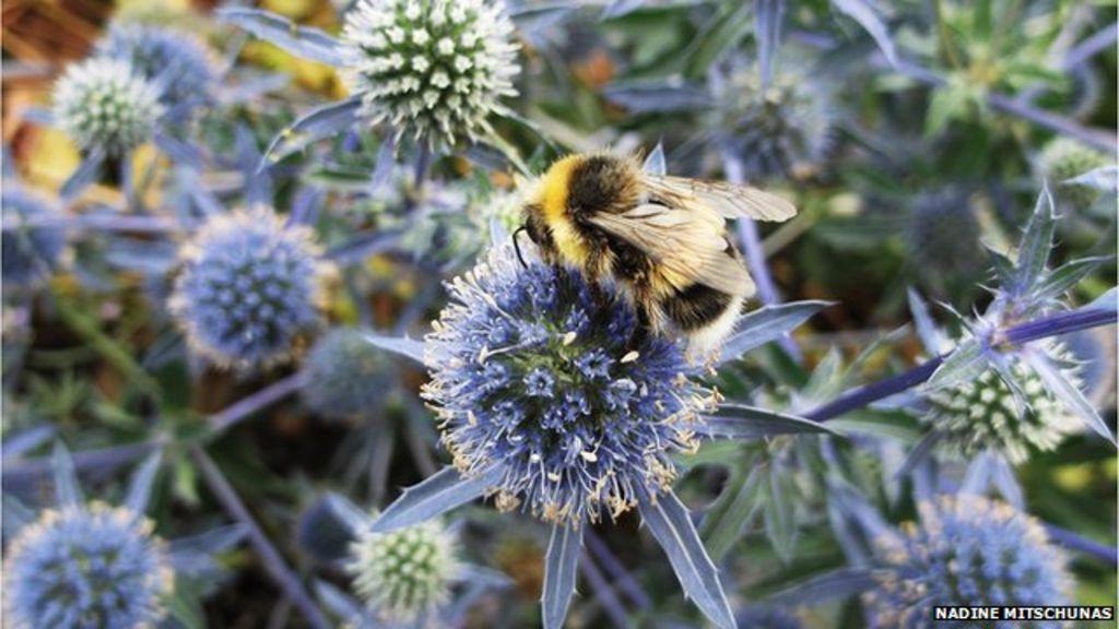 Urban habitats 'provide haven' for bees - BBC News