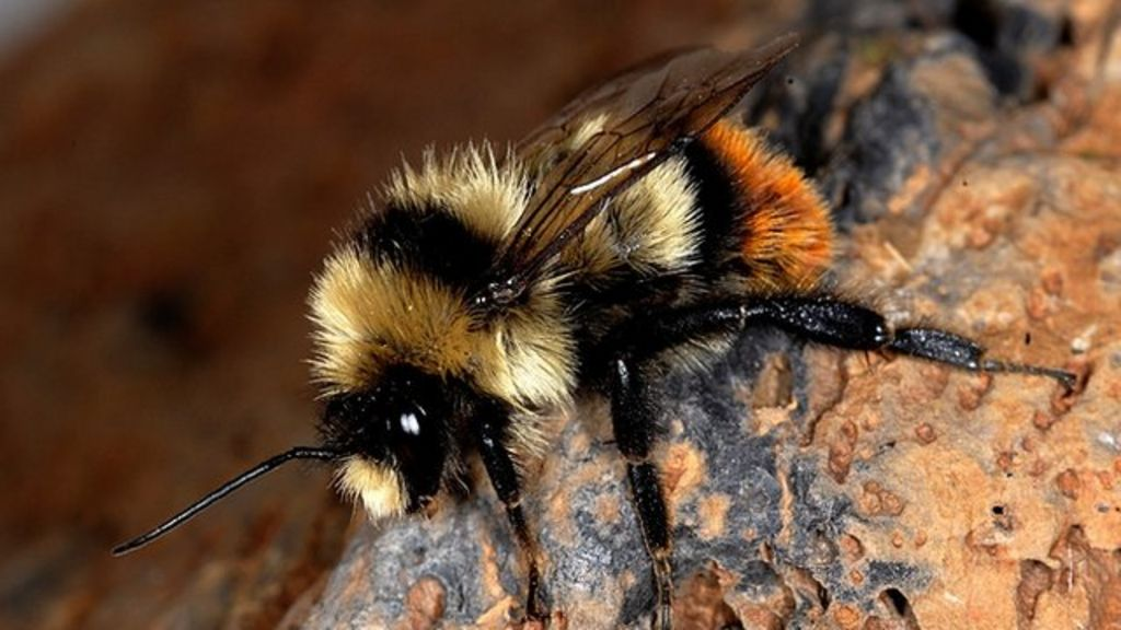 One in ten wild bees face extinction in Europe - BBC News