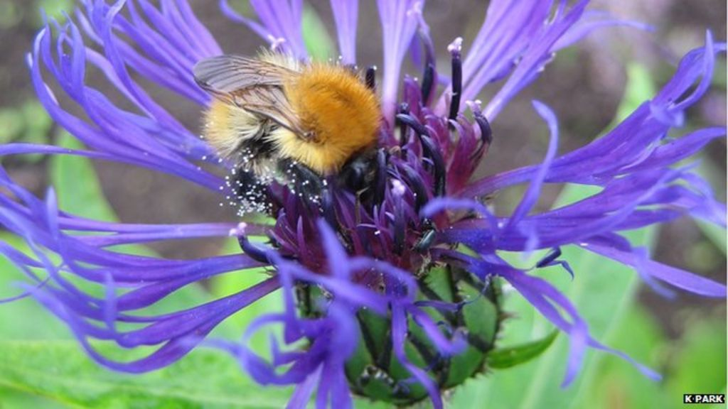 Flower-friendly farms 'boost bee populations' - BBC News