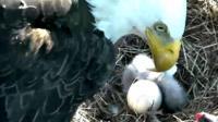 Bald eagle hatching