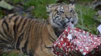 tiger cub with present