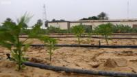 Okra plants growing in the desert