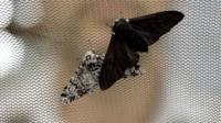 Peppered moths (c) University of Liverpool