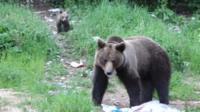 A bear in Romania.