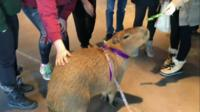 Willow the capybara