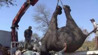 Elephant upside down on a lorry