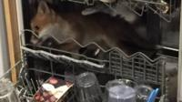 Fox in dishwasher