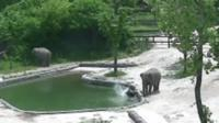 Baby elephant falling into pool