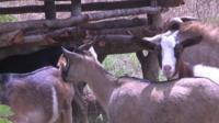 Zambia goats