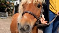Jack Brock the Shetland pony