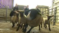 Sheep being herded by farmers