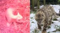 Lamb and leopard
