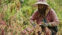 Woman harvesting quinoa