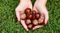 A handful of conkers