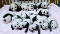 Panda cubs in China