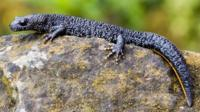 The great crested newt is found throughout Europe. It is a protected species in the United Kingdom.