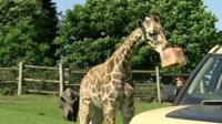 West Midlands Safari Park giraffe