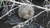 A vole in Whitchurch, Shropshire