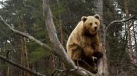 A brown bear in Ukraine.