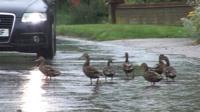 Ducks in road