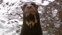 Giant otter Akuri set to swap Hampshire for Trinidad as part of breeding programme