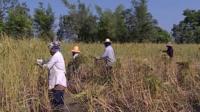Rice farmers
