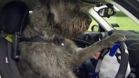Monty the giant schnauzer drives a car