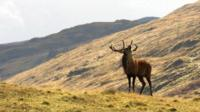 Stag on the hillside
