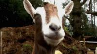 Goat at Buttercups goat sanctuary, Kent