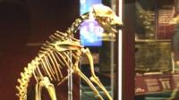 A dog skeleton on show