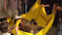 Tiger being evacuated from Prague zoo