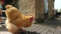 Chatsworth chicken