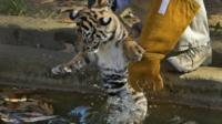 Tiger cub being put into the moat