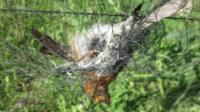 Robin in a mist net