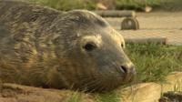 Orphan seal