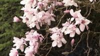 Caerhayes Castle magnolia tree