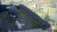 Female peregrine feeds her three chicks