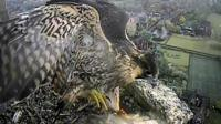 Peregrine Falcon chick fledges Norwich Cathedral nest