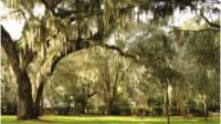 Spanish moss on oak trees