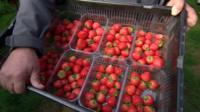 Fresh strawberries grown in November