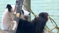 Panda in Scotland
