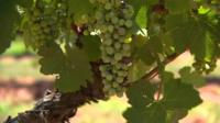 Grapes on a vine in the Hunter Valley region of Australia