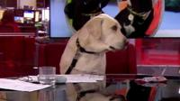 Bounce the golden labrador sitting in a chair on the BBC News set