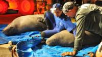 Manatees stuck in a drainage pipe are rescued in Satellite Beach, Florida, on 23 February 2015