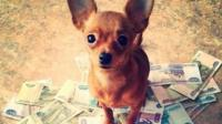 A chihuahua standing on a pile of currency notes