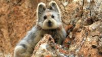 The highly-endangered Yili Pika, a mysterious rabbit-like mammal only found in China.